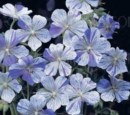 Very easy to grow, Geranium pratense 'Striatum' aka 'Splish Splash' is a fascinating, rare and prized border plant.
