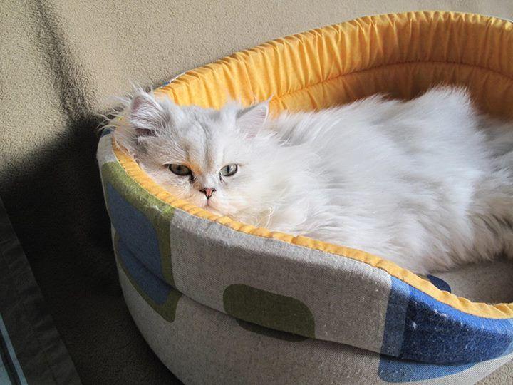 Ricky el gatito de nuestra Ladybug Marta de @undolcunivers es un amor. Guapisimo! <3