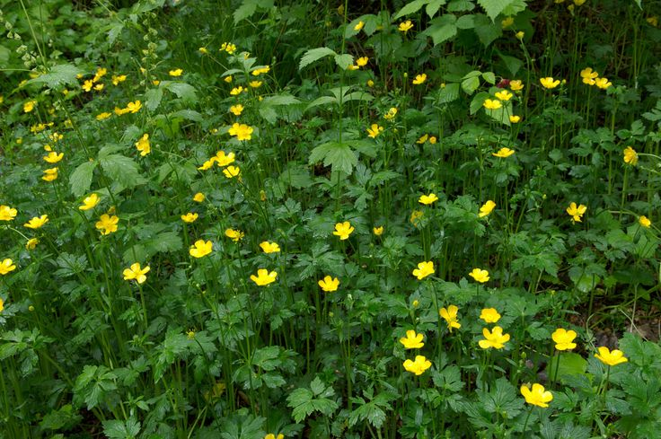 Creeping Buttercup flowers