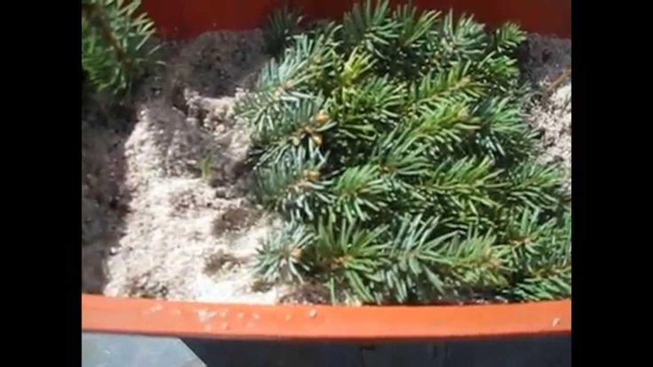 черенкование вечнозелёных растений часть 1