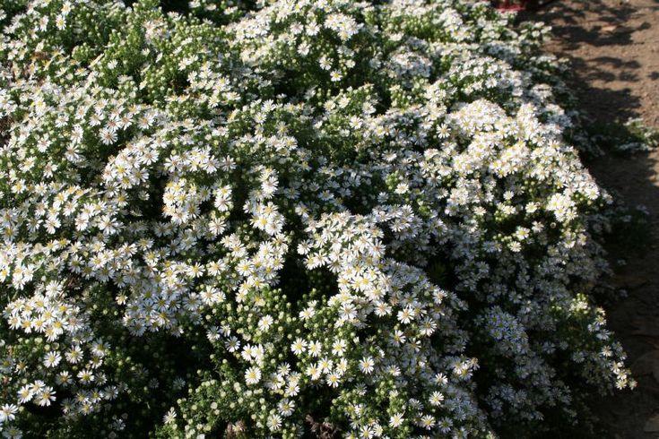 23 best Stauden images on Pinterest | Gartenpflanzen, Schöne blumen ...