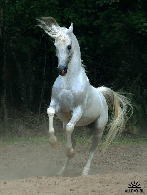 Арабская и андалузская лошадь