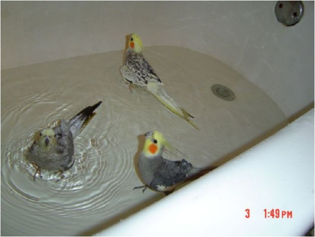 Wish my bird did this all she does when i put her in the - How do i keep ducks out of my swimming pool ...