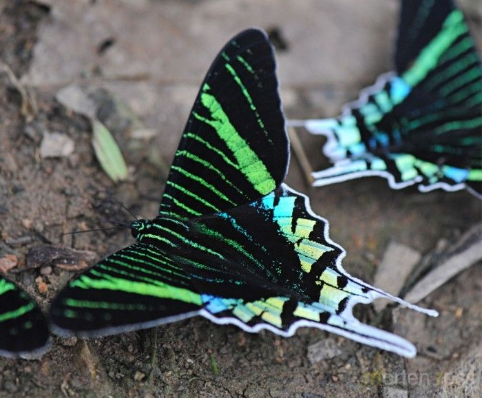 a research on butterflies magnificent flying creatures Spectacular photography, computer animation and magnetic resonance imaging open once hidden doors to every stage of a butterfly's life-cycle from an egg the size of a pinhead to a magnificent flying insect.