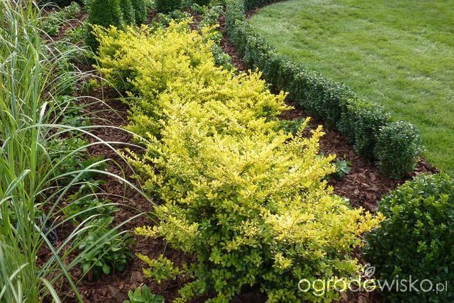 """Ilex crenata """"Golden Gem"""" - ostrokrzew odm. żółta - strona 5 - Forum ogrodnicze - Ogrodowisko"""