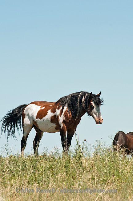 American Indian stallions