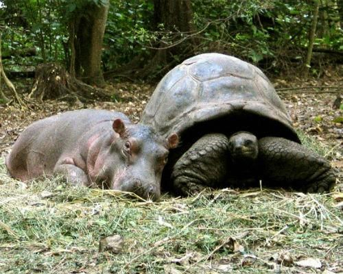 6 Odd Animals Couples | Owen the baby hippopotamus and Mzee the giant tortoise. There's over 130 years difference between the two!