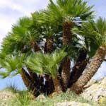 Photo de  Chamaerops humilis, Palmier éventail, palmier nain