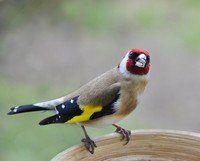 Écoutez le Bouvreuil pivoine sur chant-oiseaux.fr, une collection complète des chants d'oiseaux français. Fonctionne aussi sur votre téléphone portable!