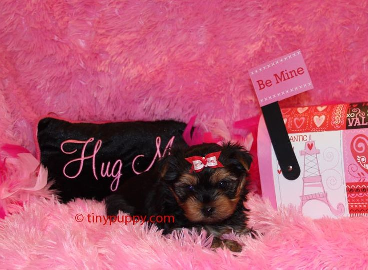 Yorkie puppies for sale in east texas