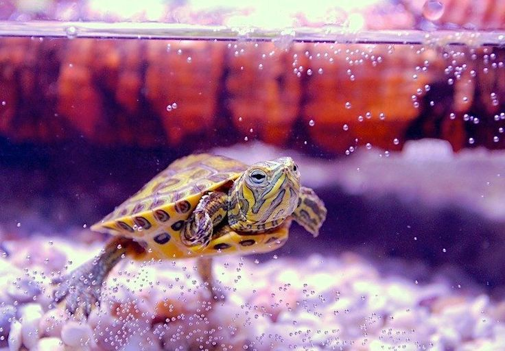 How to Care for Aquatic Turtles (Such as RedEared Sliders