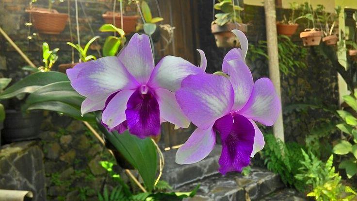 Anggrek(orchid)