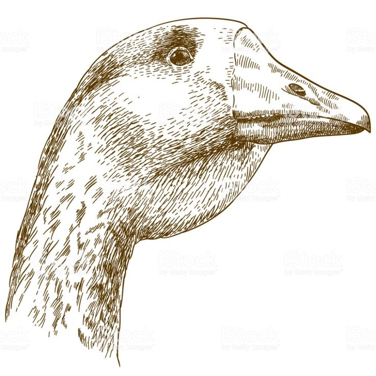 Gravure dessin illustration de tête de l'OIE gravure ...