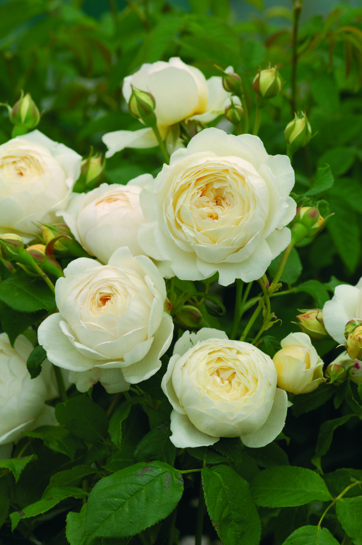 David Austin English rose Claire Austin.Beautiful flowers of pale yellow, fading to creamy white. Strong myrrh fragrance.