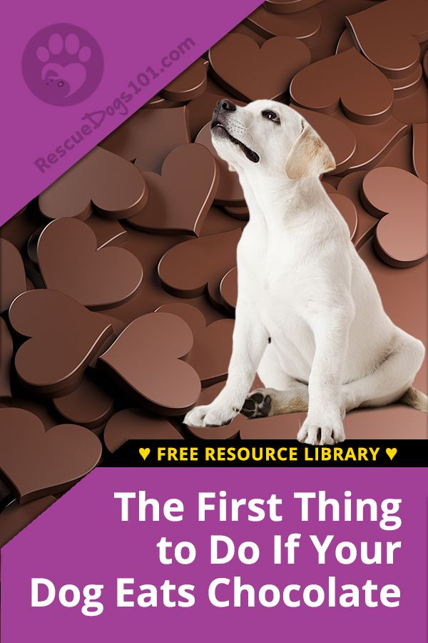The First Thing To Do If Your Dog Eats Chocolate Dog Ate