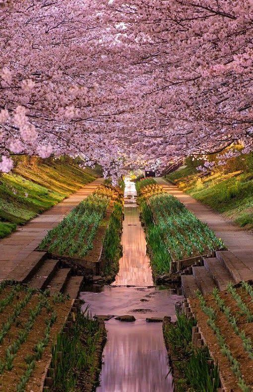 No words necessary, wow. Sakura Tunnel Japan