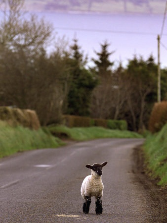 Awwww … A Spring Lamb Walks in the Scenic Glens of Antrim in Cushendall, Northern Ireland
