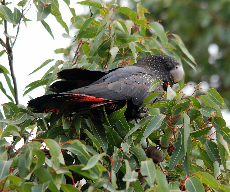 """Red Tailed Black Cockatoo at the """"Twin Creeks Reserve"""" Porongorups, Western Australia."""
