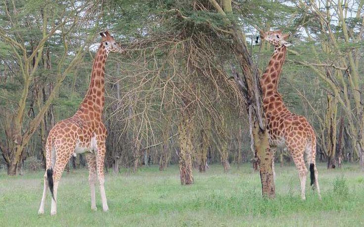 Northern Giraffe (Giraffa camelopardalis) - Giraffe Facts and ...