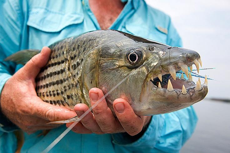 Tiger Fish Teeth Tiger Fish Fish One Fish