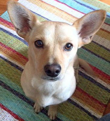 Corgi Chihuahua Mix