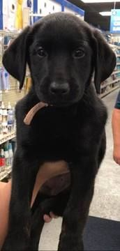 Litter of 3 Labrador Retriever puppies for sale in KOKOMO, IN. ADN-35958 on PuppyFinder.com Gender: Female. Age: 9 Weeks Old