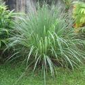 Anti-Mosquito Plants