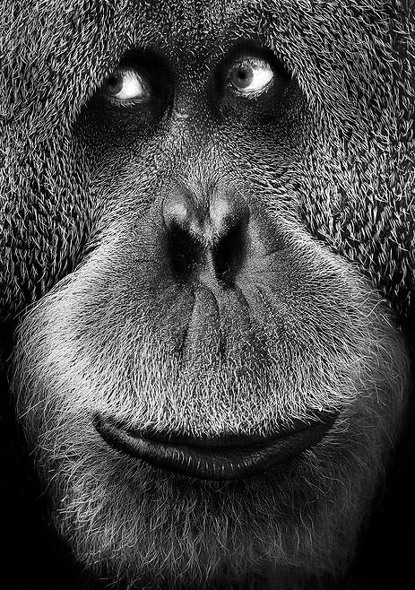 Orangutan. Look at that wonderful face!