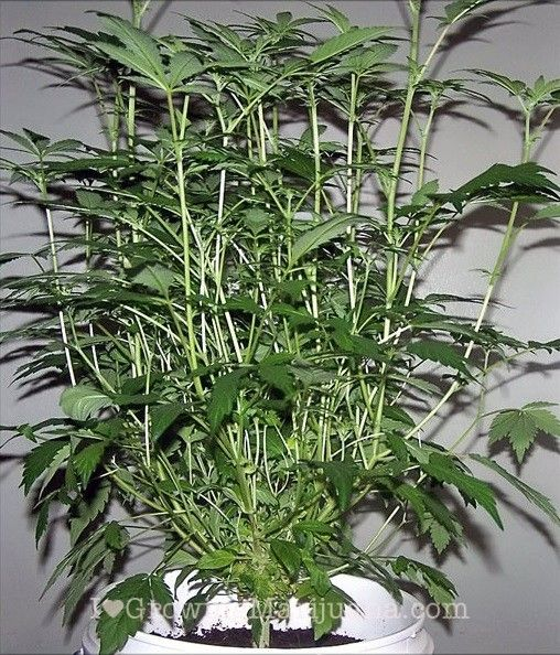 72 best Growing Cannabis images on Pinterest | Marijuana ...