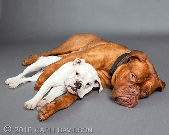 "Old English & a ""Dogue de Bordeaux"" also known as a French Mastiff... i want both"
