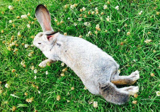Rabbits (Swans Riverside Manor, Kiermusy, Poland)