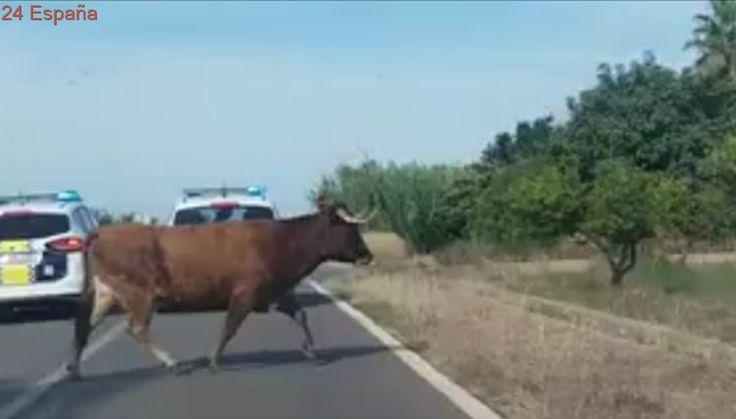 Capturan a una de las dos vacas que escaparon en las fiestas de Burriana