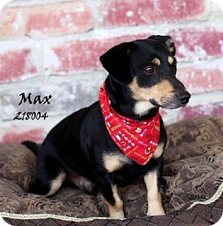 Conroe, TX Dachshund Mix. Meet MAX a Dog for Adoption
