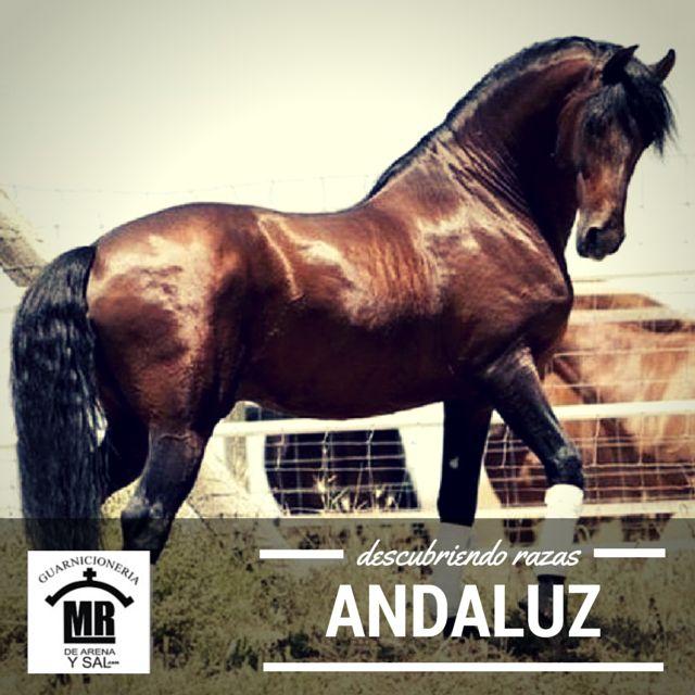 El caballo PRE (Pura Raza Española) es la denominación oficial que recibe en España el caballo conocido como andaluz de forma internacional. Tradicionalmente esta raza se denominaba caballo andaluz, pero fue en el año 1912 cuando se comenzó a conocer a la raza española como PRE, debido a la inspiración de la nomenclatura de los pura sangre inglese...