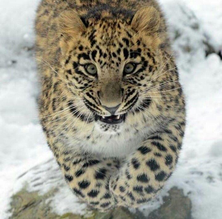 Joven leopardo Amur.
