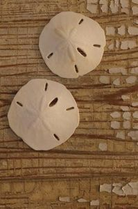 How to Preserve Sand Dollars   1,bleach & water...then dry  2. 1/2glue 1/2 water painted on