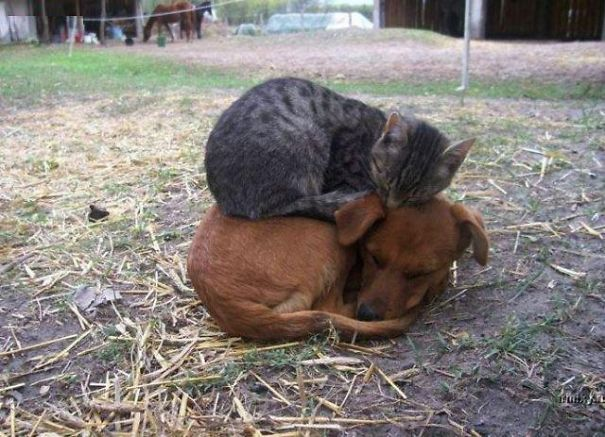 20 cats think their dog friends are the best pillows