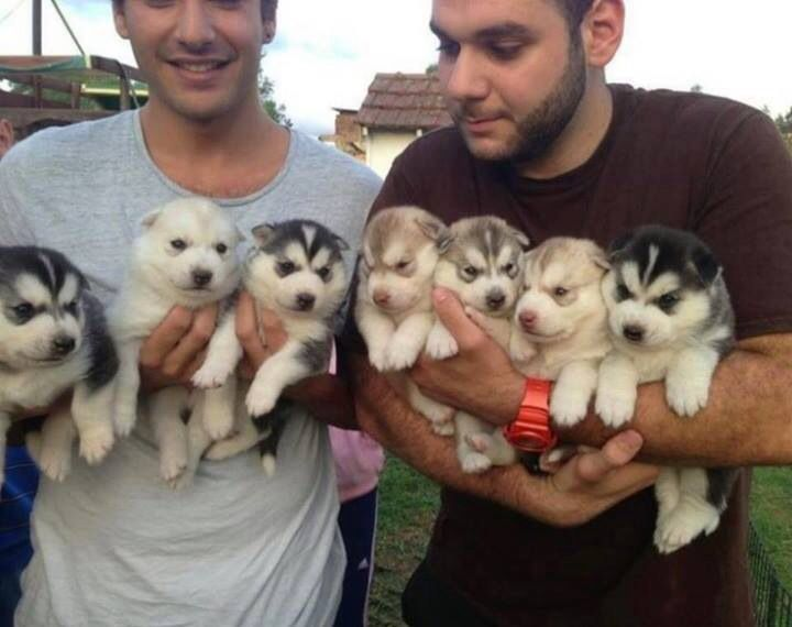 ugh i want alaskan husky soooo bad!!! someone just buy me one please