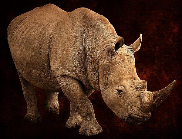 Rhino walk.  Auckland Zoo, Auckland, New Zealand.  View my portfolio at www.zarirmadon.com
