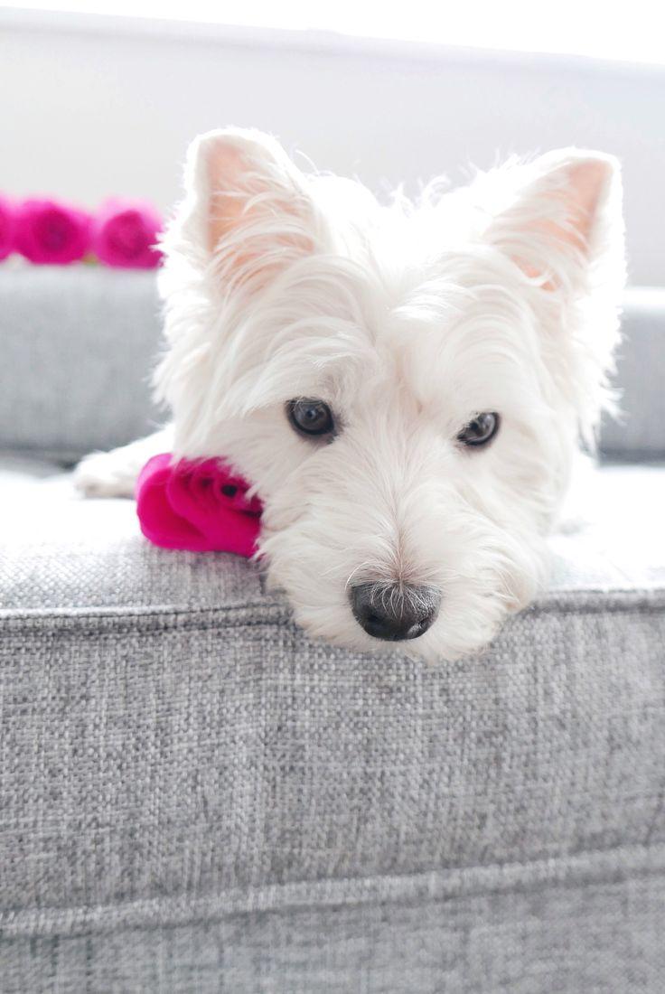 Getting ready for Valentine's Day! | The Westie Besties | Follow The Westie Besties on Instagram: http://www.instagram.com/thewestiebesties | Photo by Katherine Penfold | #WestHighlandTerrier #Westies #WestHighlandWhiteTerrier #Dogs #Pets #WestieBesties #ValentinesDay #Valentine