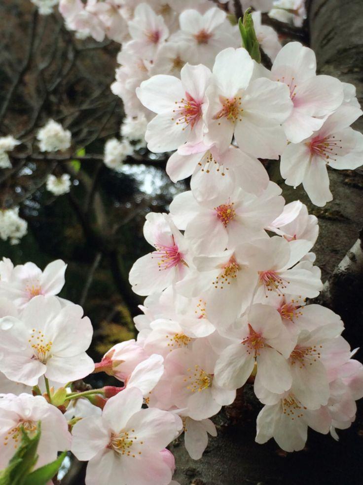Cherry Blossoms Japan*