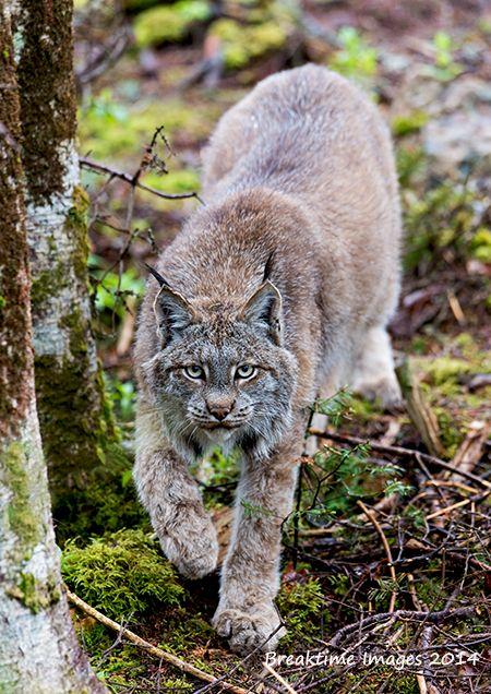 """""""A curious #lynx"""""""