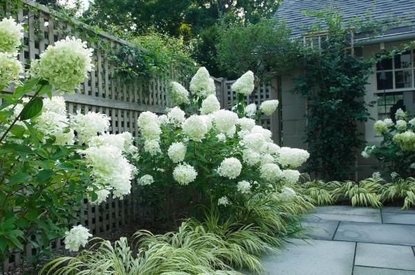 ideen garten gitterzaun weiße hortensie gras niedrig platten