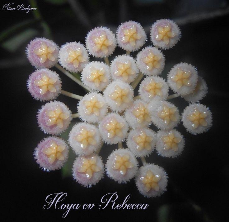 Hoya cv rebecca