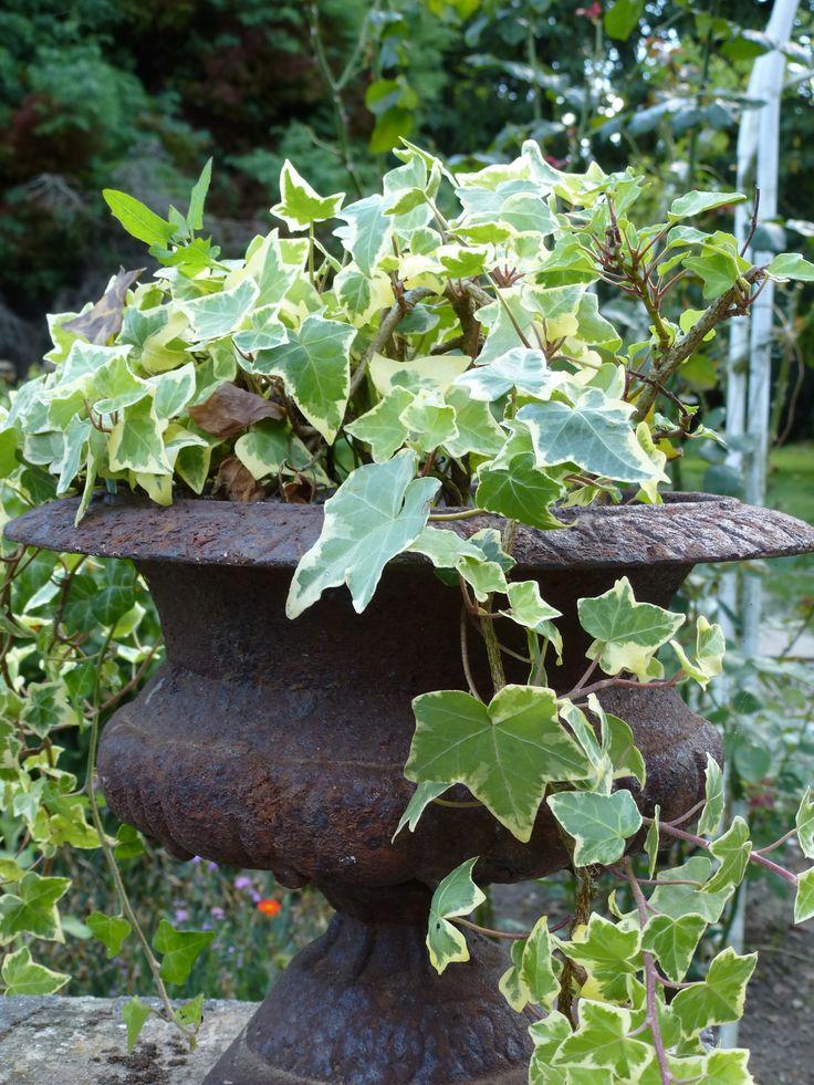 Ivy & Medicis - lierre dans vase medicis