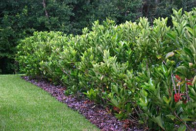 Awabuki hedge - the best and prettiest hedge I have found. Grows fast and fills in beautifully.