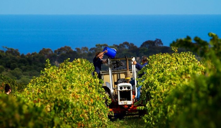 Chapel Hill Wines harvesting Grenache. McLaren Vale, South Australia. Vintage…
