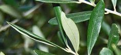 Χυμός από φύλλα ελιάς η θεραπευτική χρήση!!! Συνέντευξη του Δρ. Λαμπρόπουλου στον Δρ. Πάππα Από την...