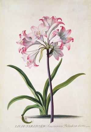 Belladonna Lily, by George Dionysius Ehret, 1744.  V&A Museum, London  #art #flowers #lily