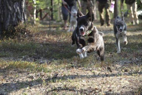 Pups Being Pups | Hetta Huskies - Dog Sledding Finland | Mushing Finland | Husky Safari Lapland Scandinavia